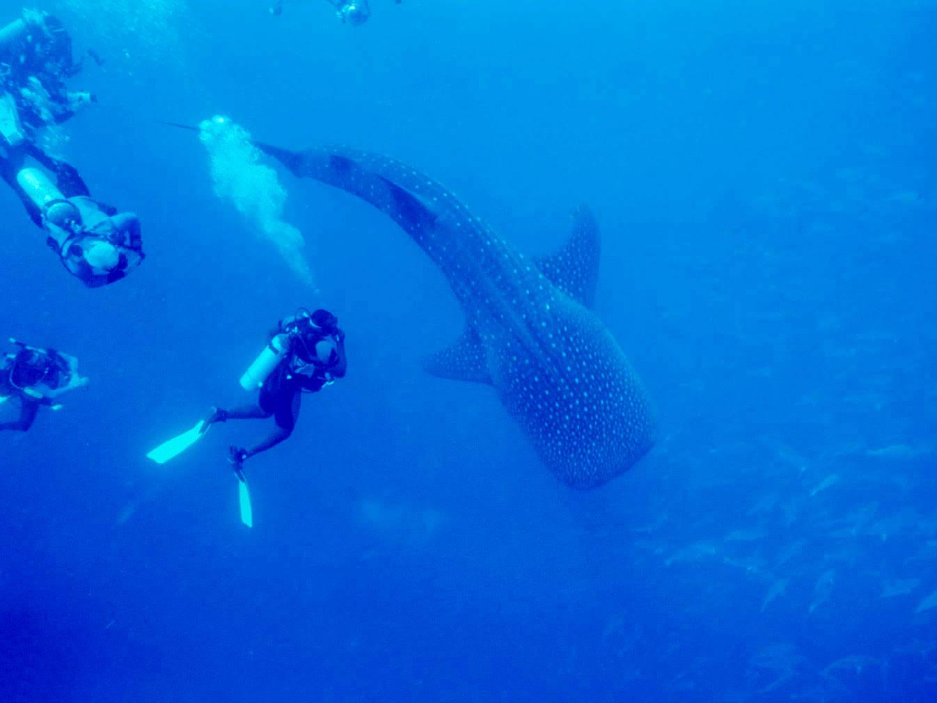Belize Whale Shark Diving & Snorkeling