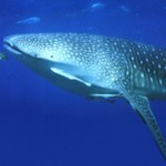 About Whale Sharks