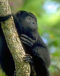Howler Monkey at Monkey River