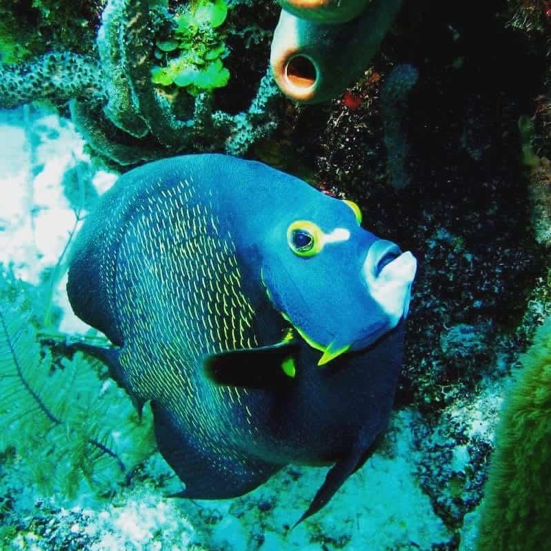 Angel Fish at Silk Cayes
